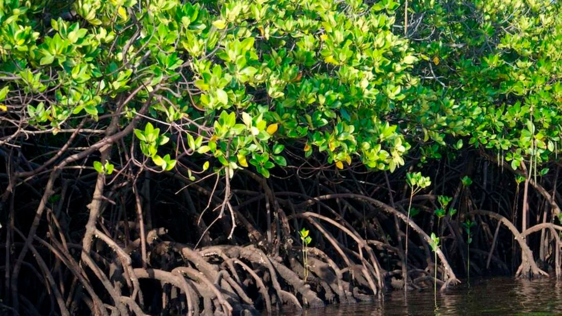 tanzania-mangrove